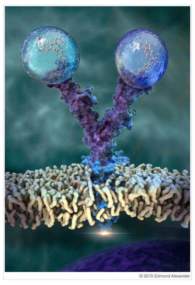 Bispecific Monoclonal Antibody